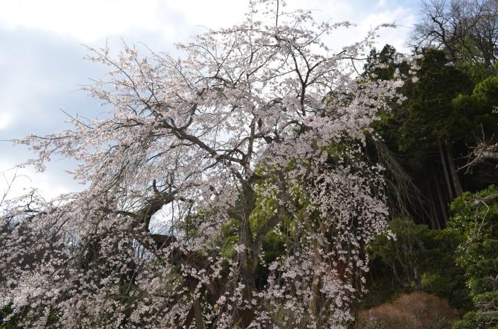 長栄寺の桜